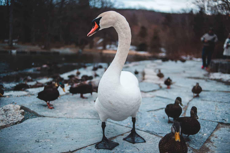 Lehrerblog Lehrercoaching Vertan sagte der Hahn und stieg von der Ente